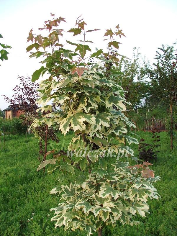Chwalebne Szkółka Walczak - drzewka owocowe, rośliny ozdobne-Klon zwyczajny YD19